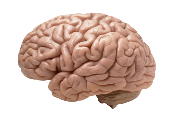 image-of-brain